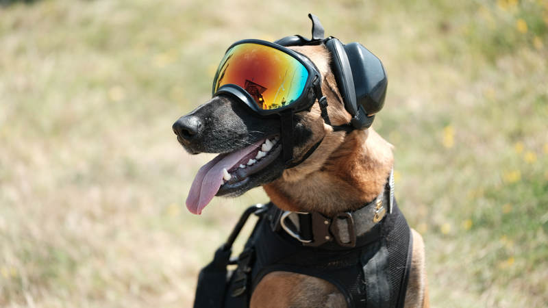 Ricky, a Belgian Malinois, is part of the Maritime Safety and Security Team (MSST) and works as an explosive detection dog. Photo Credit Chief Petty Officer Brandyn Hill/U.S. Coast Guard District 11.